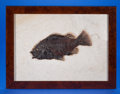 Fossils:Fish, FRAMED FOSSIL FISH. Priscacara serrata. Eocene. Green River Formation. Fossil Lake, Kemmerer, Wyoming. ...