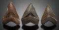 Fossils:Fish, GROUP OF THREE NATURAL FOSSIL SHARK TEETH. Charcharocles(Carcharodon) megalodon. Miocene-Pliocene. Morgan andAsh...