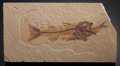 Fossils:Fish, FOSSIL FISH ASPIRATION. Mioplosus labracoides with Knightia eocaena. Eocene. Green River Formation. Wyoming...