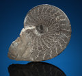 Fossils:Cepholopoda, CLASSIC AMMONITE. Sphenodiscus lenticularis. Cretaceous. Near Rapid City, South Dakota. ...