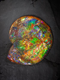 "SPECTACULAR ""GEM"" AMMONITE Placenticeras costatum Late Cretaceo"