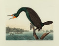 Fine Art - Work on Paper:Print, JOHN JAMES AUDUBON (American, 1785-1851). Florida Cormorant orDouble-crested Cormorant (Phalacrocorax auritus), 1835. P...