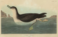 Fine Art - Work on Paper:Print, JOHN JAMES AUDUBON (American, 1785-1851). Manks Shearwater or Manx Shearwater (Puffinus puffinus), 1836. Plate CCXCV fro...