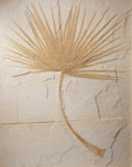 , FOSSIL PALMS: MATCHED PAIR. Sabalites sp.. Eocene.Green River Formation. Fossil Lake, Kemmerer,Wyoming. ... (Total: 2 Items)