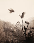 Photographs, DON HONG-OAI (Chinese, 1929-2004). Birds in Flight, 1984. Selenium toned gelatin silver. 19 x 15 inches (48.3 x 38.1 cm)...