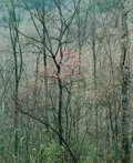 Photographs, ELIOT FURNESS PORTER (American, 1901-1990). Redbud Trees in Bottom Land, Red River Gorge, Kentucky, 1968. Dye transfer, ...