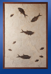 LARGE MULTI-FISH PLATE - WALL SIZE PLATE Diplomystus dentatus, Priscacara serrata Lower Eocene - Green River