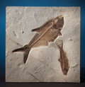 Fossils:Fish, FOSSIL FISH MULTIPLE FROM THE GREEN RIVER FORMATION. Diplomystusdentatus and Knightia eoceana. Eocene. GreenRive...