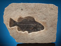 Fossils:Fish, FINE FOSSIL FISH FROM WYOMING QUARRY. Priscacara serrata. Eocene. Green River Formation. Wyoming. ...