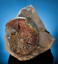 Fossils:Cepholopoda, COLORFUL SCAPHATOID AMMONITE. Jeletzkytes spedeni. Late Cretaceous. Pierre Shale Formation. Cheyenne River, South Dakota...