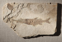 """A FOSSIL """"ASPIRATION"""" Mioplosus labracoides Fossil Lake, Kemmerer, Wyoming Green R"""