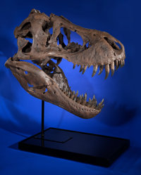 """STAN"" - SKULL CAST OF MOST COMPLETE T-REX EVER FOUND Tyrannosaurus rex Late Cretaceous"