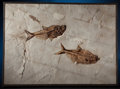 Fossils:Fish, DOUBLE-DIP PLATE. Diplomystus dentatus, Knightia alta. LowerEocene - Green River Formation, 56 MYA. Kemmerer, Wyoming. ...