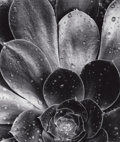 Photographs:20th Century, BRETT WESTON (American, 1911-1993). Succulent, 1968. Gelatinsilver. 12-1/2 x 10-1/2 inches (31.8 x 26.7 cm). Signed and...