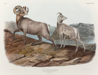 JOHN JAMES AUDUBON (American, 1785-1851) Rocky Mountain Sheep Plate LXXIII from The Viviparous Qu