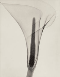 Dr. DAIN L. TASKER (American, 1872-1964) X-ray of a Lily, 1930 Gelatin silver 12-7/8 x 10 inches