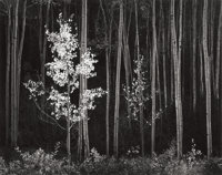 ANSEL ADAMS (American, 1902-1984) Aspens, Northern New Mexico, from Portfolio VII, 1958 G