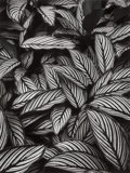 Photographs, DON WORTH (American, 1924-2009). Calathea Vittata, Oahu, 1977. Gelatin silver . 11 x 8-1/4 inches (27.9 x 21.0 cm). Sign...