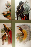 Books:Natural History Books & Prints, John Gould. Group of Four Elephant Folio Reprints. Uniformly matted to an overall size of 20 x 26 inches. Some wrinkling and...