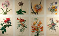 Books:Natural History Books & Prints, [Georg Dionysius Ehret]. Group of Eight Modern Reprints of Flowers after Works by Ehret. Measure 17 x 12.25 inches. Fine....