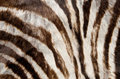 Miscellaneous, Birchell's Zebra Rug from Tanzania. Benefitting the Dallas Museumof Art. Uncut rug. Dimensions: Widest point is 80 inche...