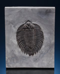 Fossils:Trilobites, SUPERLATIVE AMERICAN TRILOBITE. Arctinurus boltoni.Middle Silurian, Rochester Shale Formation. New York,USA...