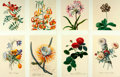 Books:Natural History Books & Prints, [Georg Dionysius Ehret]. Group of Eight Modern Reprints of Flowers after Works by Ehret. Measure 17 x 12.25 inches. Very goo...