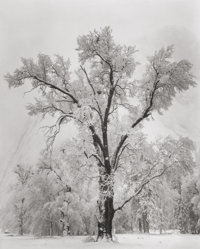 ANSEL ADAMS (American, 1902-1984) Oaktree, Snowstorm, Yosemite National Park, California, 1948 Gelat