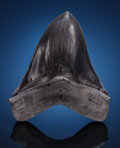 Fossils:Fish, FOSSIL SHARK TOOTH. Carcharocles megalodon. Miocene.Morgan River, South Carolina, USA. ... (Total: 2Items)