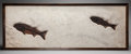 Fossils:Fish, LARGE FRAMED DOUBLE MIOPLOSUS FOSSIL FISH . Mioplosus labracoides. Lower Eocene, Green River Formation. Kemmerer, ...