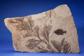 Fossils:Fish, FOSSIL FISH WITH PALM FLOWER. Priscacara serrata.Eocene, Green River Formation. Wyoming, USA....