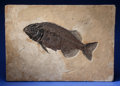 Fossils:Fish, RARE AND LARGE FOSSIL FISH. Phareodus encaustus.Eocene, Green River Formation. Wyoming, USA....