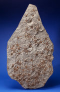 """Fossils:Echinoderms, FOSSIL """"BRITTLE"""" STARFISH PLATE. Ophiura sp.. Ordovician. Sahara Desert, Morocco. ..."""