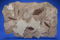Fossils:Fish, FOSSIL FISH MURAL. Priscacara liops & Knightia eocaena. Eocene, Green River Formation. Wyoming, USA. ...