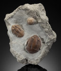 Fossils:Trilobites, TRILOBITE PAIR WITH CYSTOID . Subasaphus platyurus. Middle Ordovician. Wolchow River, NW Russia. ...