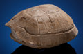 Fossils:Amphibians & Reptiles, Uncommon Small Fossil Turtle . Stylemys nebrascensis .Oligocene. White River Badlands, South Dakota, USA....