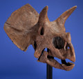 Dinosauria:Skulls, INCREDIBLE DINOSAUR SKULL. Triceratops prorsus. LateCretaceous, Hell Creek Formation. Montana, USA.... (Total: 2 Items)