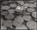 Photographs:Gelatin Silver, BERENICE ABBOTT (American, 1898-1991). Lotus Pads (from Route I), 1953. Early gelatin silver. 8 x 9-3/4 inches (20.3 x 2...