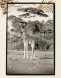 Photographs:Gelatin Silver, PETER BEARD (American, b. 1938). Untitled (Giraffe), 1987.Gelatin silver with ink. 14 x 11 inches (35.6 x 27.9 cm) (ove...