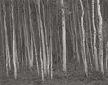 Photographs:20th Century, GEORGE A. TICE (American, b. 1938). Aspen Grove #2, Aspen, CO, 1969. Gelatin silver, printed 1992. 10-1/2 x 13 inches (2...