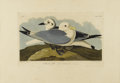 Prints:American, JOHN JAMES AUDUBON (American 1785-1851). Kittywake Gull.Hand colored etching. 25in. x 38in.. Plate CCXXIV, No. 45, Robe...