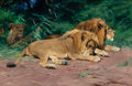 Fine Art - Painting, European:Modern  (1900 1949)  , WILHELM KUHNERT (German, 1865-1926). Ruhende Löwen (Lions atRest). Oil on canvas. 16 x 24-1/2 inches (40.6 x 62.2 cm). ...