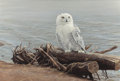 Paintings, ROBERT BATEMAN (Canadian, b. 1930). Snowy Owl on Driftwood. Oil on Masonite. 24-1/8 x 36 inches (61.3 x 91.4 cm). Signed...