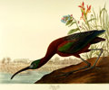 Books:Prints & Leaves, [Audubon]. Large Reproduction Print Depicting a Glossy Ibis, fromBirds of America: A Selection of Plates Facsimile...