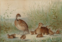 ALEXANDER POPE (American, 1849-1924) Family of Quail, 1878 Chromolithograph 14 x 20 inches (35.6