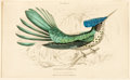 Books:Prints & Leaves, [Birds]. Hand-Colored Engraving Depicting the Stoke's Humming-bird.From The Natural History of Humming-Birds, Edinburgh...