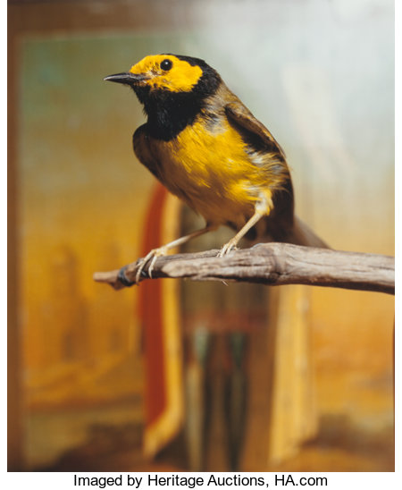 ANDRES SERRANO (American, b. 1950) Hooded Warbler II, 2000 Chromogenic 23-1/2 x 19-1/4 inches (59.7 x 48.9 cm) Signe...