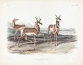 Books:Natural History Books & Prints, John James Audubon (1785-1851). Antilope Americana- PlateLXXVII....