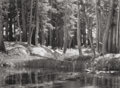 Photographs, ANSEL ADAMS (American, 1902-1984). Lodgepole Pines, Lyell Fork of the Merced River, Yosemite National Park, 1923. Gelati...