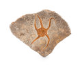 """Fossils:Echinoderms, FOSSIL STARFISH. Brittle Star """"Ophiuroidae sp. . Ordovician. Ktaoua Formation. Mecissi, Sahara Desert, Morocco. 6.49 x 6.3..."""